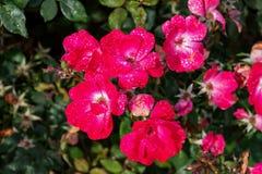 Sprej Rose Blossoms fotografering för bildbyråer