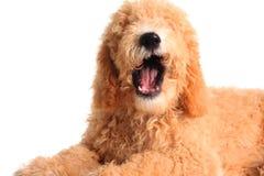 Sprekende hond royalty-vrije stock afbeeldingen