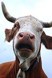 Sprekende koe stock foto