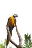 Sprekende papegaai Royalty-vrije Stock Foto