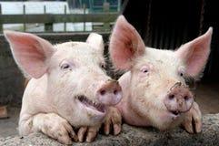 Sprekende varkens stock afbeelding