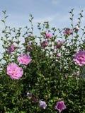 Sprengung von Rose von Sharon-Blumen lizenzfreies stockbild