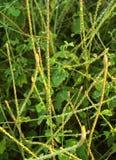 Spreu-Blume-Achyranthes aspera - nayuruvi Stockfoto