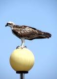 Оsprey. Bird on the lantern. Float on the sea Stock Images