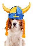Spürhund im schwedischen Hut, lokalisiert auf Weiß Lizenzfreie Stockfotos