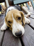 Spürhundhund, der den Blick schläfrig legt Stockfotos