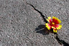 Spricka på asfaltvägen En spricka i asfalten och en härlig blomma Kopieringsutrymmen arkivbilder