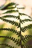 Spricker den mjuka gröna ormbunken ut för tappning på suddig bakgrund med bokeh Fotografering för Bildbyråer
