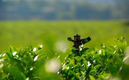 Spridare i lantgård för grönt te Arkivbild