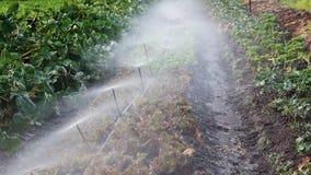 Spridare som besprutar vatten på rad av växter på liten lantgård arkivfilmer