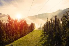 Spridare som bevattnar vingården på soluppgångmorgonen Bevattningsystem på mot solen royaltyfri foto