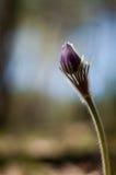 Sprießen Sie von der Pasqueblume Stockfotos