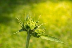 Sprießen Sie von der Sonnenblume Stockfotografie