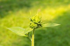 Sprießen Sie von der Sonnenblume Stockfotos