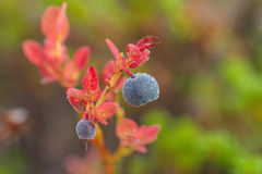 Sprig голубик с ягодой Стоковое Фото