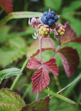 Sprig ежевики с зрелыми и зелеными ягодами стоковая фотография