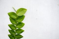 Sprig листьев на белой предпосылке стены Ветвь дерева растя на стороне дома Стоковые Фото