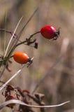 Sprig красных ягод боярышника Стоковые Изображения RF