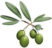 Sprig оливки Стоковая Фотография