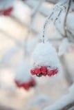 Sprig рябины предусматриванный с заморозком Стоковое фото RF