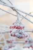 Sprig рябины предусматриванный с заморозком Стоковые Фото