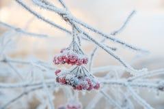 Sprig рябины предусматриванный с заморозком Стоковая Фотография RF