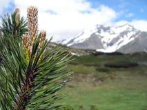Sprig сосен на предпосылке гор Стоковая Фотография