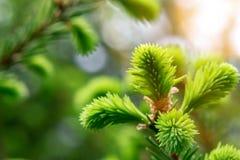 Sprig спруса со свежим ростом игл - красивой зеленой естественной предпосылкой весны стоковое фото rf