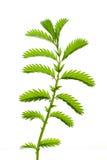 Sprig травы, ноги гусыни. Стоковая Фотография