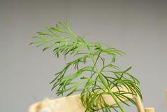 Sprig укропа растя внутри помещения Стоковая Фотография RF