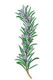 Sprig цветя розмаринового масла Стоковые Изображения RF