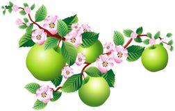 sprig яблока Стоковое Изображение