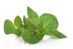 sprig майорана листьев травы Стоковая Фотография RF