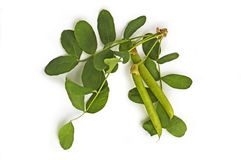 Sprig of Acacia pods with Stock Images