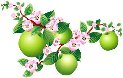 Sprig of apple. Raster version of vector image of a blooming sprig of apple Stock Image