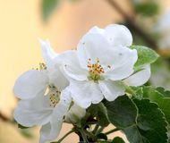Sprig of apple blossom Royalty Free Stock Images
