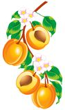 Sprig of apricots. Raster version of vector image of a sprig of apricots Stock Photography