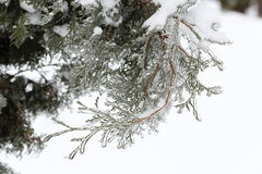 Sprig arborvitae close up after the ice storm, rain. Beautiful photo arborvitae branches close-up shot after an ice storm, rain Royalty Free Stock Image