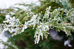 Sprig arborvitae. Covered by ice Stock Images
