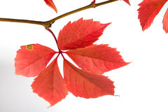 Sprig of autumn vine Royalty Free Stock Images