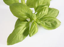 Sprig of basil Royalty Free Stock Images