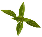 Sprig of basil Royalty Free Stock Photos