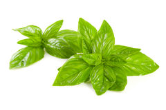 Sprig of basil. Royalty Free Stock Photos