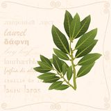 Sprig of bay leaf in vintage style. A bay leaf branch in vintage style with text Stock Photography