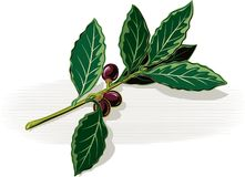 Sprig of bay leaves on a white background. Sprig of bay leaves leaning against a table on a white background Royalty Free Stock Photos