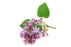 Sprig of beautiful flowers lilac Stock Photos