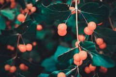 Sprig with berries in vintage style royalty free stock images