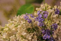 Sprig biały bez i kwiat w rosa kroplach w górę Bokeh w tle wiosna, miękka część zdjęcie royalty free