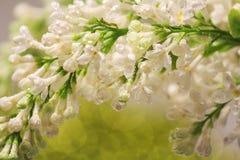 Sprig biały bez w rosa kroplach w górę Bokeh w tle wiosna, miękka część obrazy stock