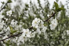 Sprig biali czereśniowi okwitnięcia w ogródzie fotografia stock
